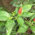 kanthari chillies benefits