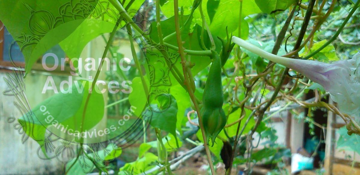 Clove Beans Cultivation
