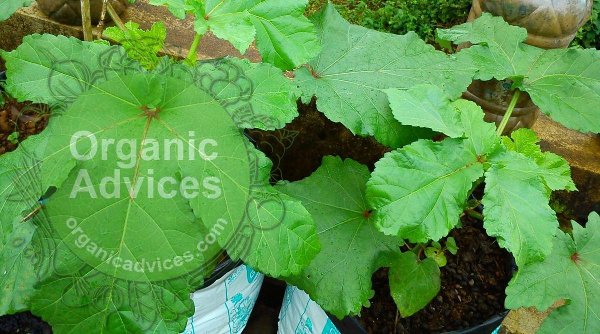Organic Fertilizers Used In Terrace Farming - Ground Nut