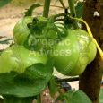 tomato cultivation tips
