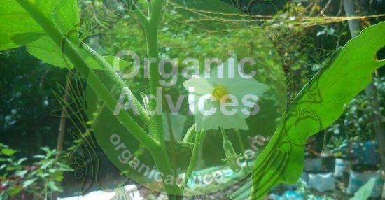 Brinjal Cultivation