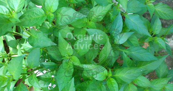 Leaf curl decease green chillies