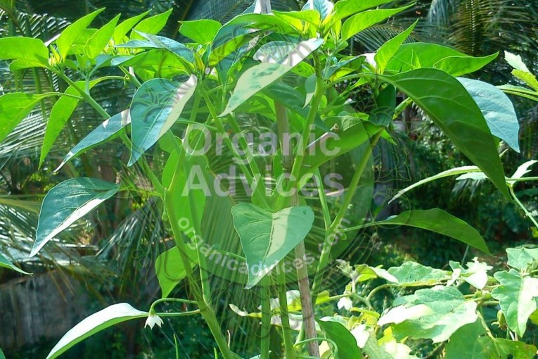 Leaf curl decease in vegetables – how can we control it