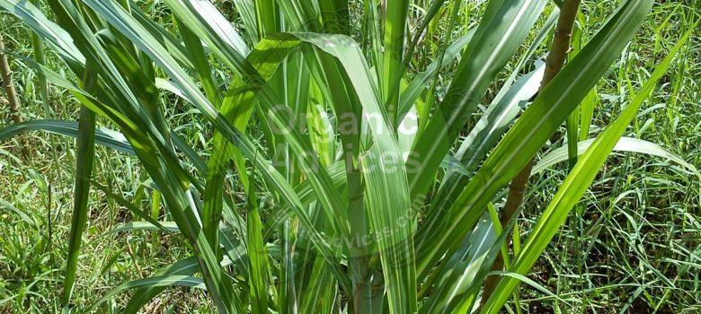 Neem Oil Pesticide Benefits and Usage