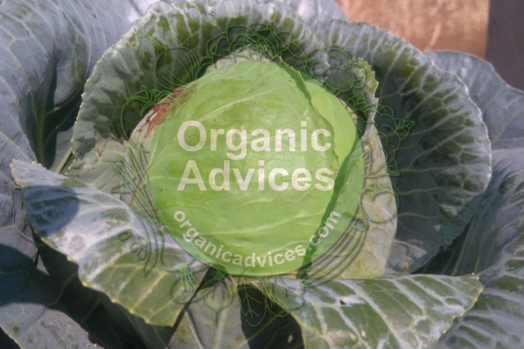 cabbage cultivation in kerala using organic methods