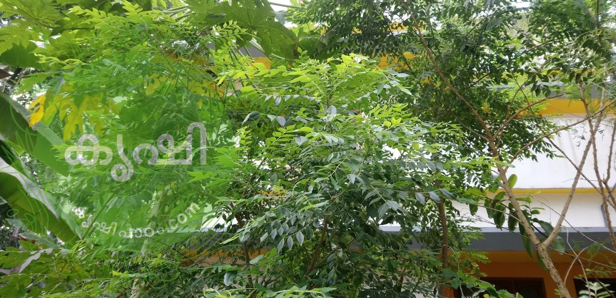 curry leaves growing tips using organic methods