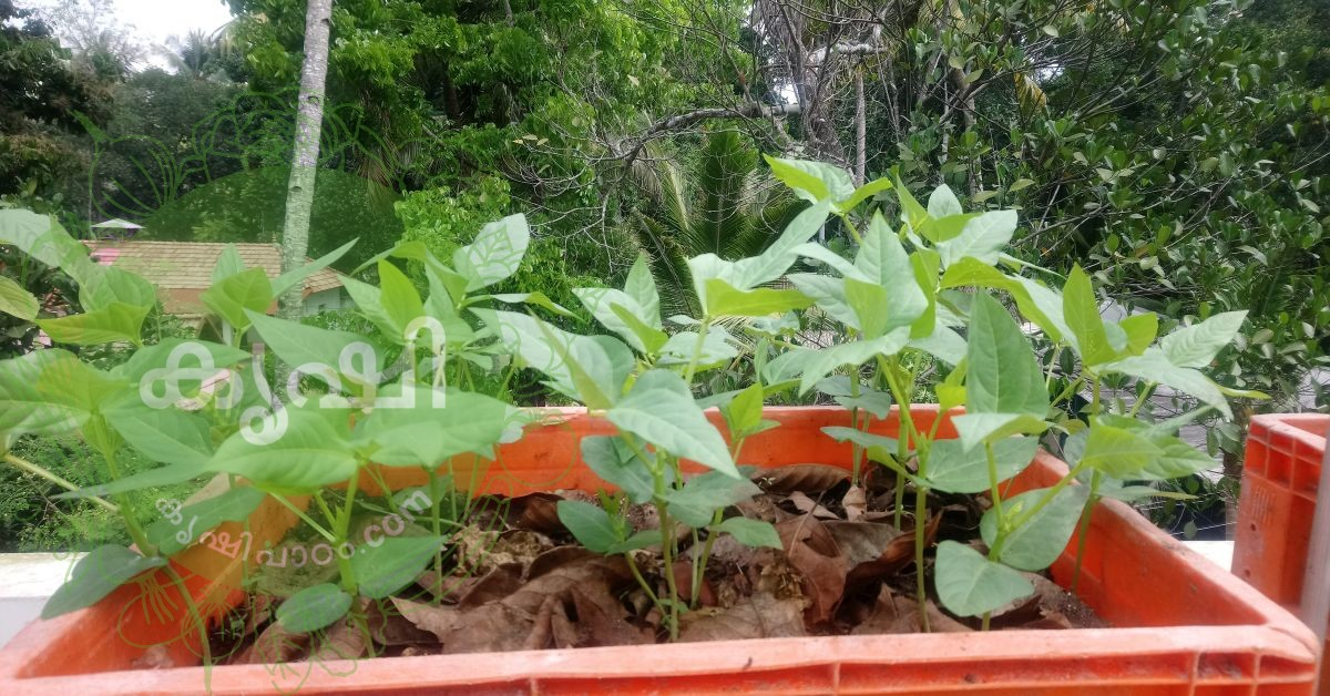 long beans at terrace garden staying options